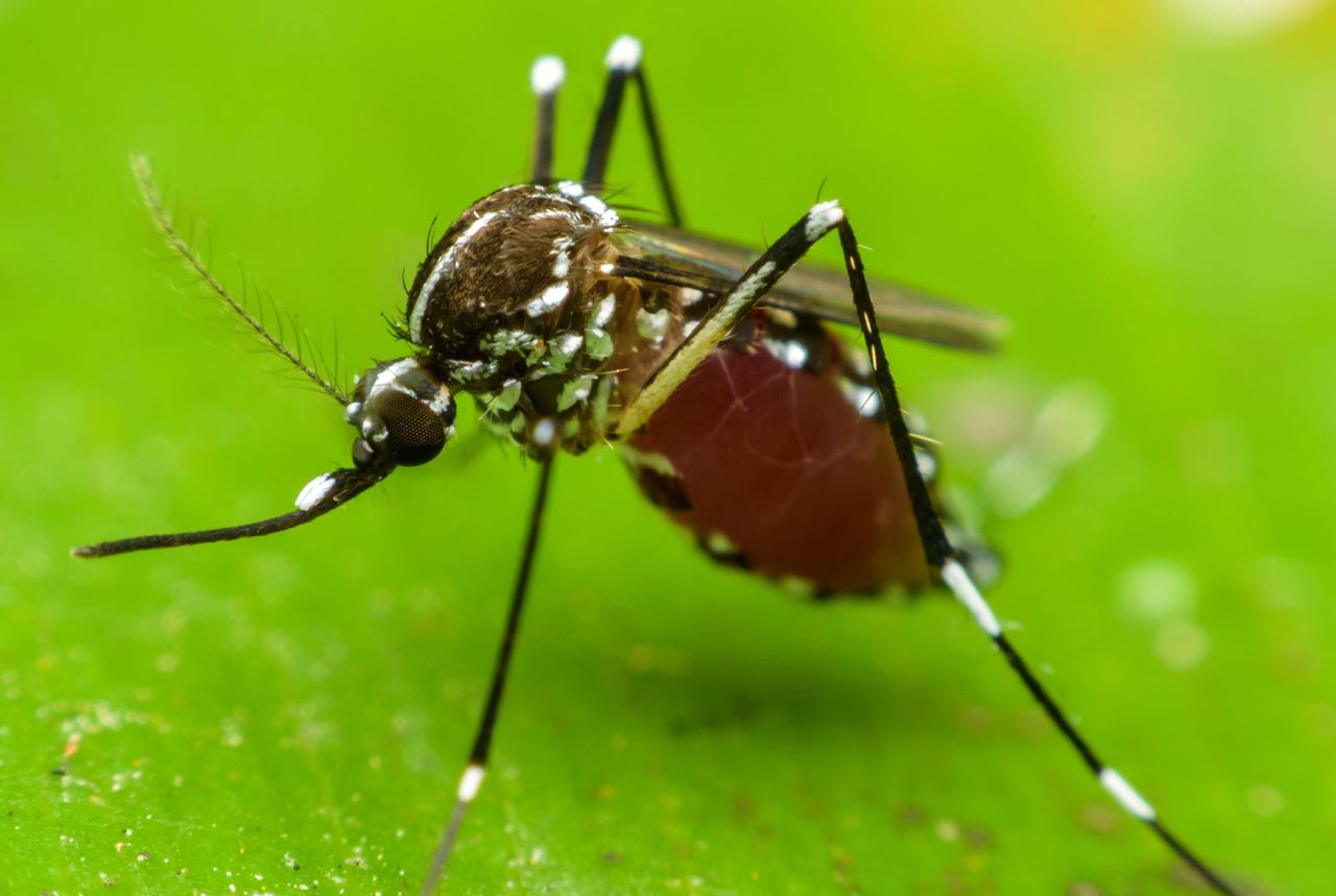 蚊が病気を運ぶ