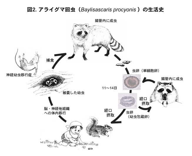 アライグマ回虫の生活史-国立感染症研究所